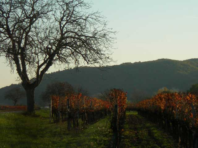 Vineyard In Fall, Cahors