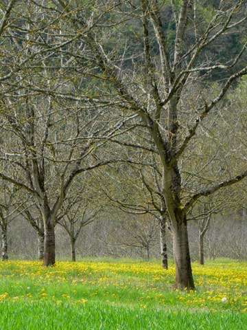 Walnut trees in a field of dandelion, a carpet of bright yellow and green on the river's edge.