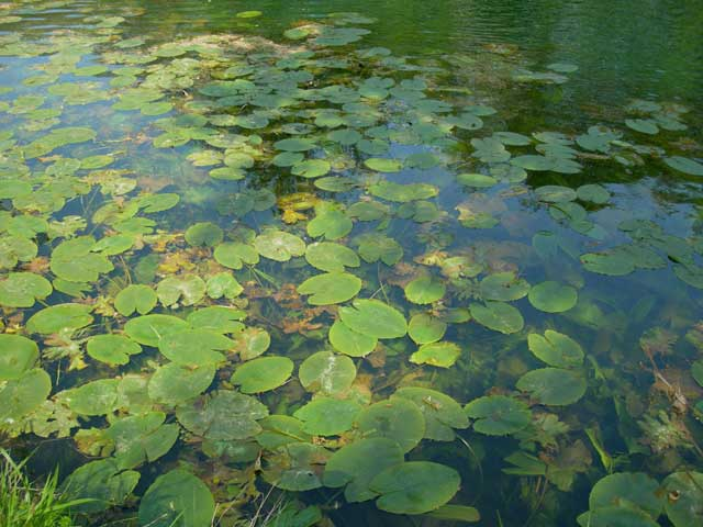 Water Lillies By The Old Mill, near Rocamadour
