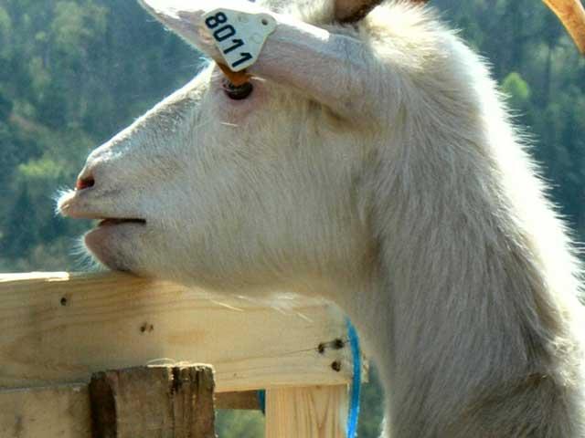 Goat Foire/Fair, Aubazine